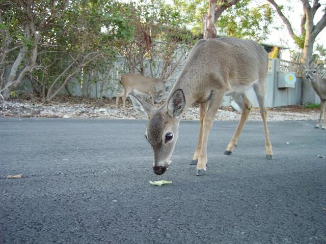 Key deer (c) Marc Averette (CC via Wikipedia)